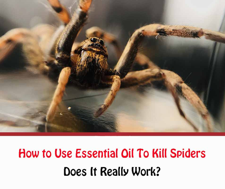 How to Use Essential Oil To kill Spiders