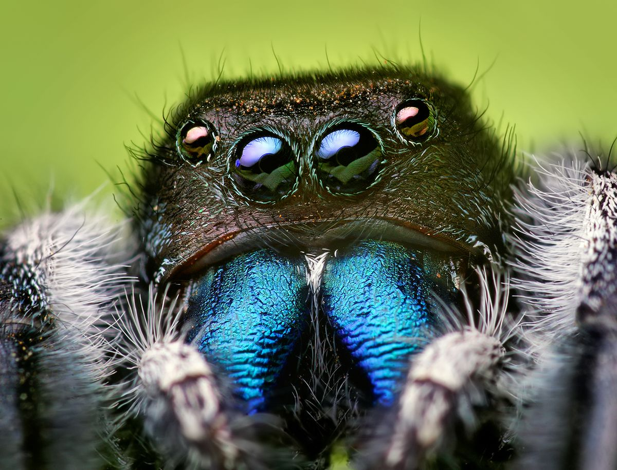 Jumping Spiders 2021 - Image By Wikipedia