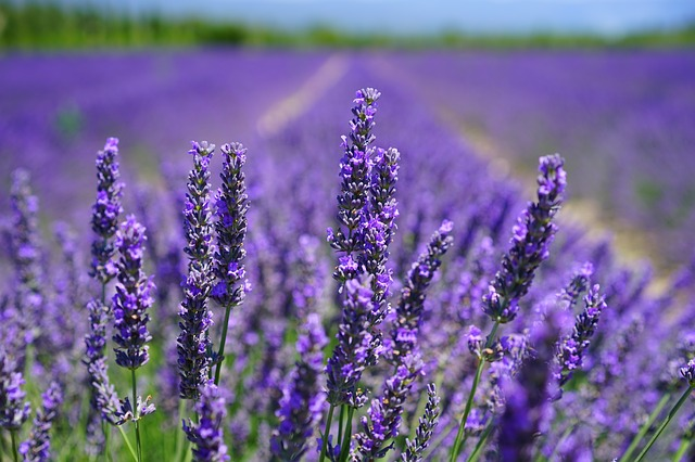 Lavender 2021 - Image By morningchores