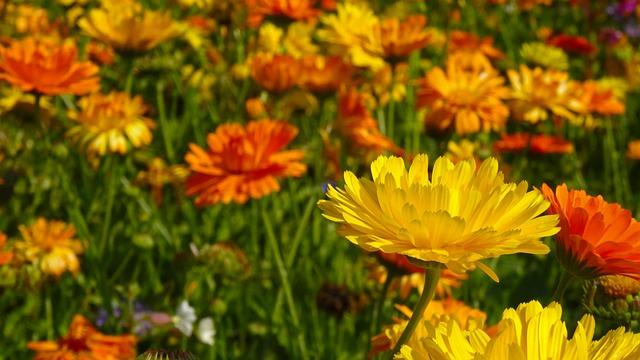 Marigold - Image By morningchores