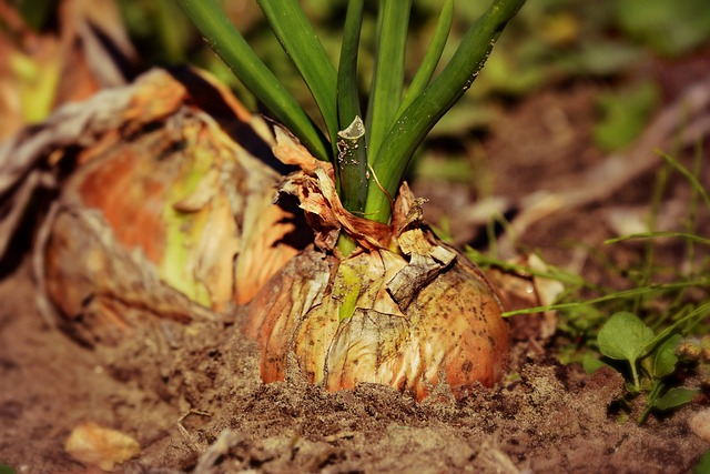 Onions Plants To Get Rid Of Spiders - Image By morningchores