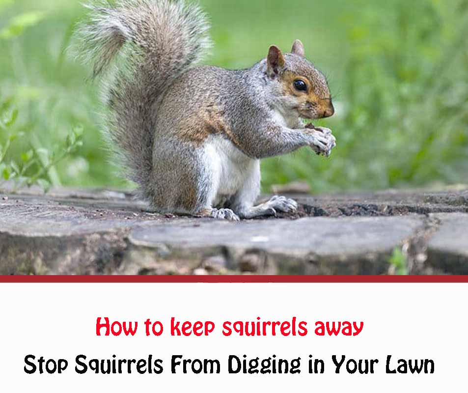 STOP Squirrels From Digging in Your Lawn