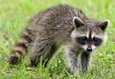 What Deters Raccoons?