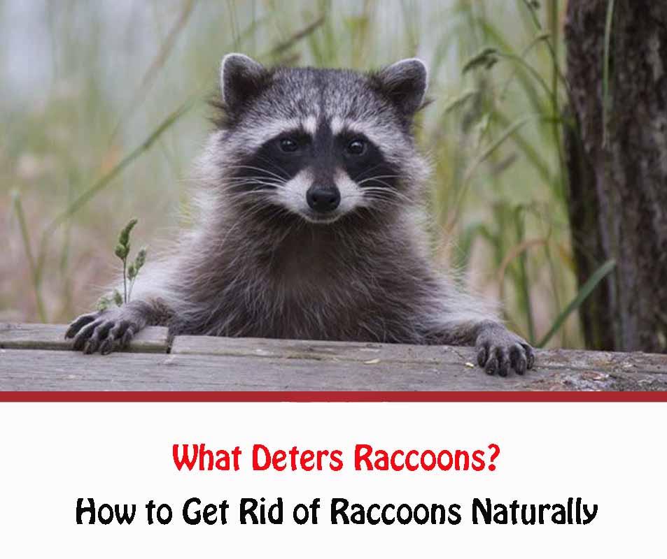 What Deters Raccoons