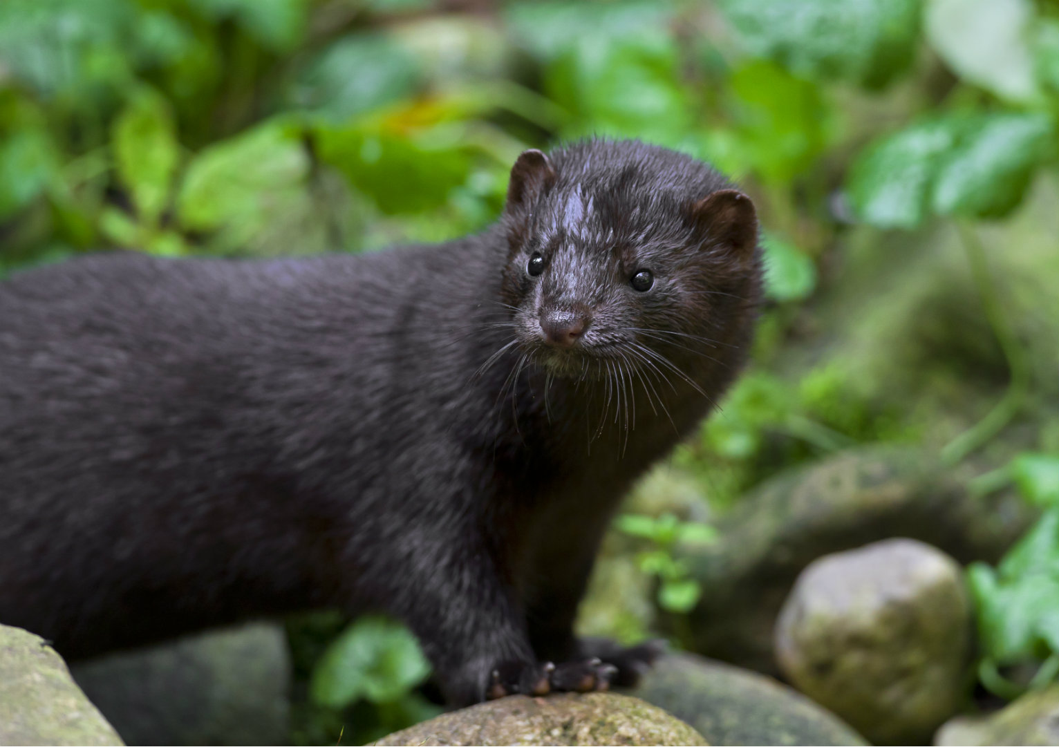 What Do Minks Eat 2021 - Image By usnews