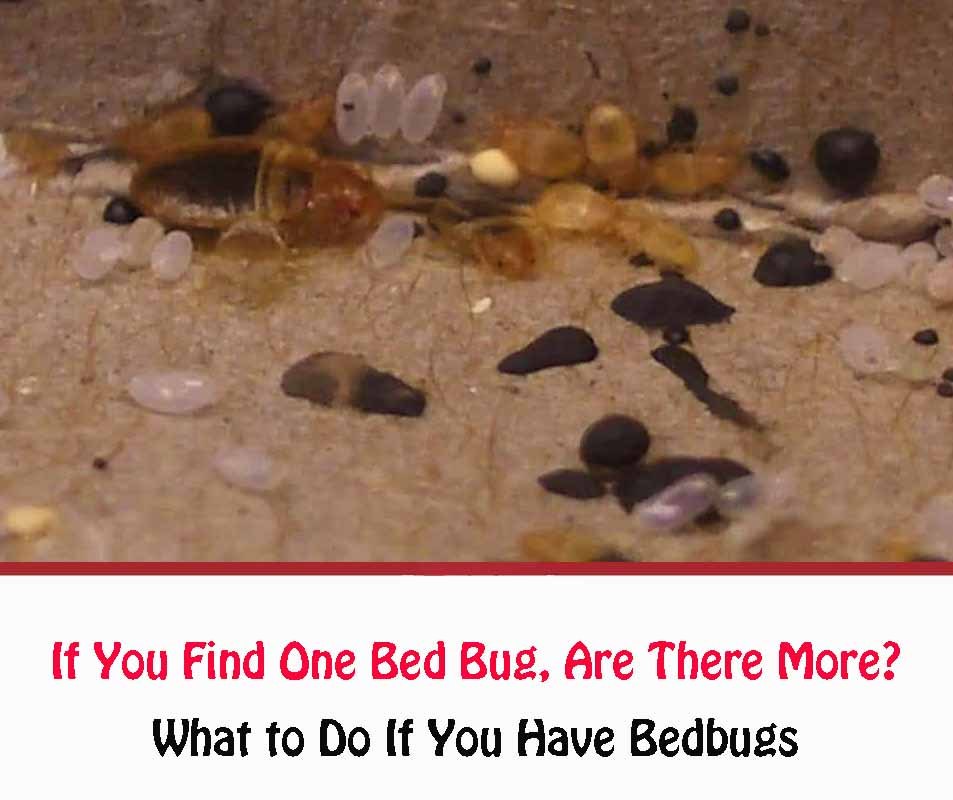 What to Do If You Have Bedbugs