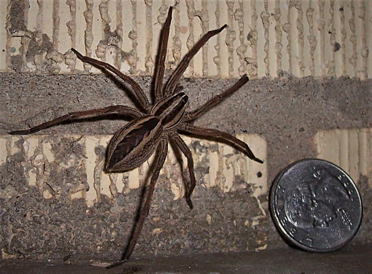 Wolf spiders 2021 - Image By paducahsun