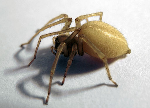 Yellow Sac Spiders - Image By beelinepestcontrol