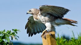 Can You Shoot a Hawk If It Is Attacking Chickens?