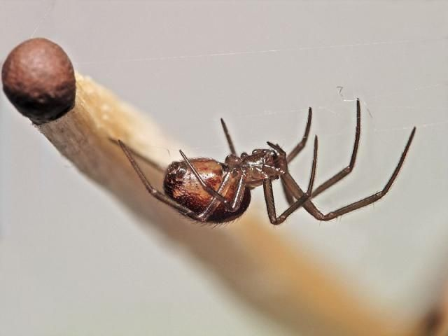 cobweb spider facts 2020 - Image By Pinterest