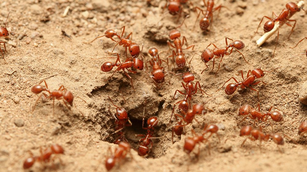 fire ants 2021 - Image By Modernpest