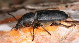 How To Get Rid Of Wood Boring Beetles On Furniture Naturally