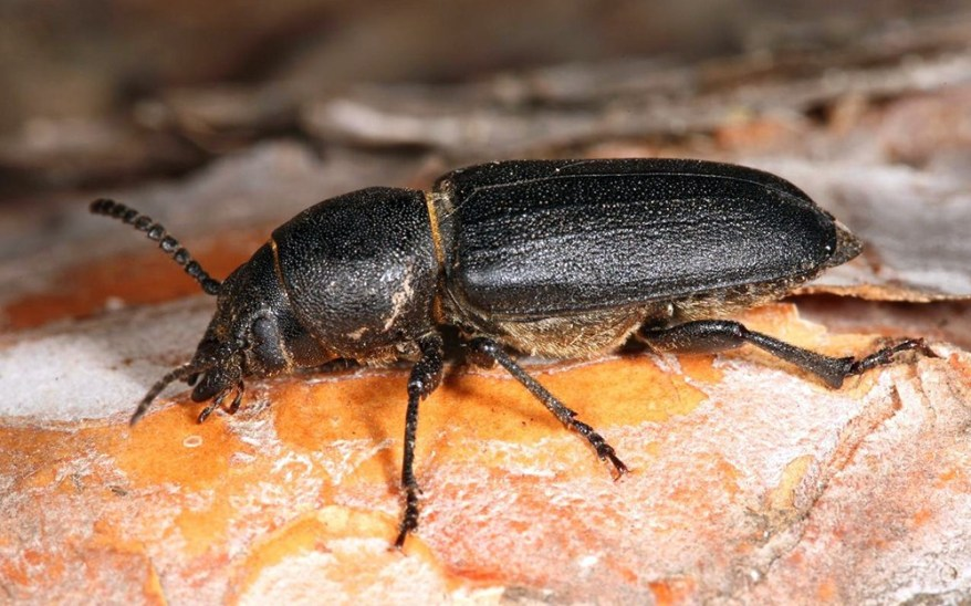 how to get rid of wood boring beetles 2020 - Image By entomologytoday