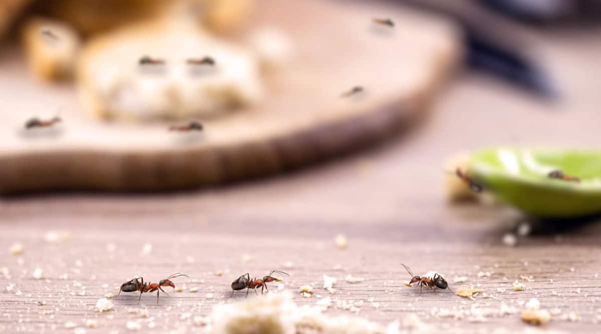 Ants Around The Kitchen Sink 2021