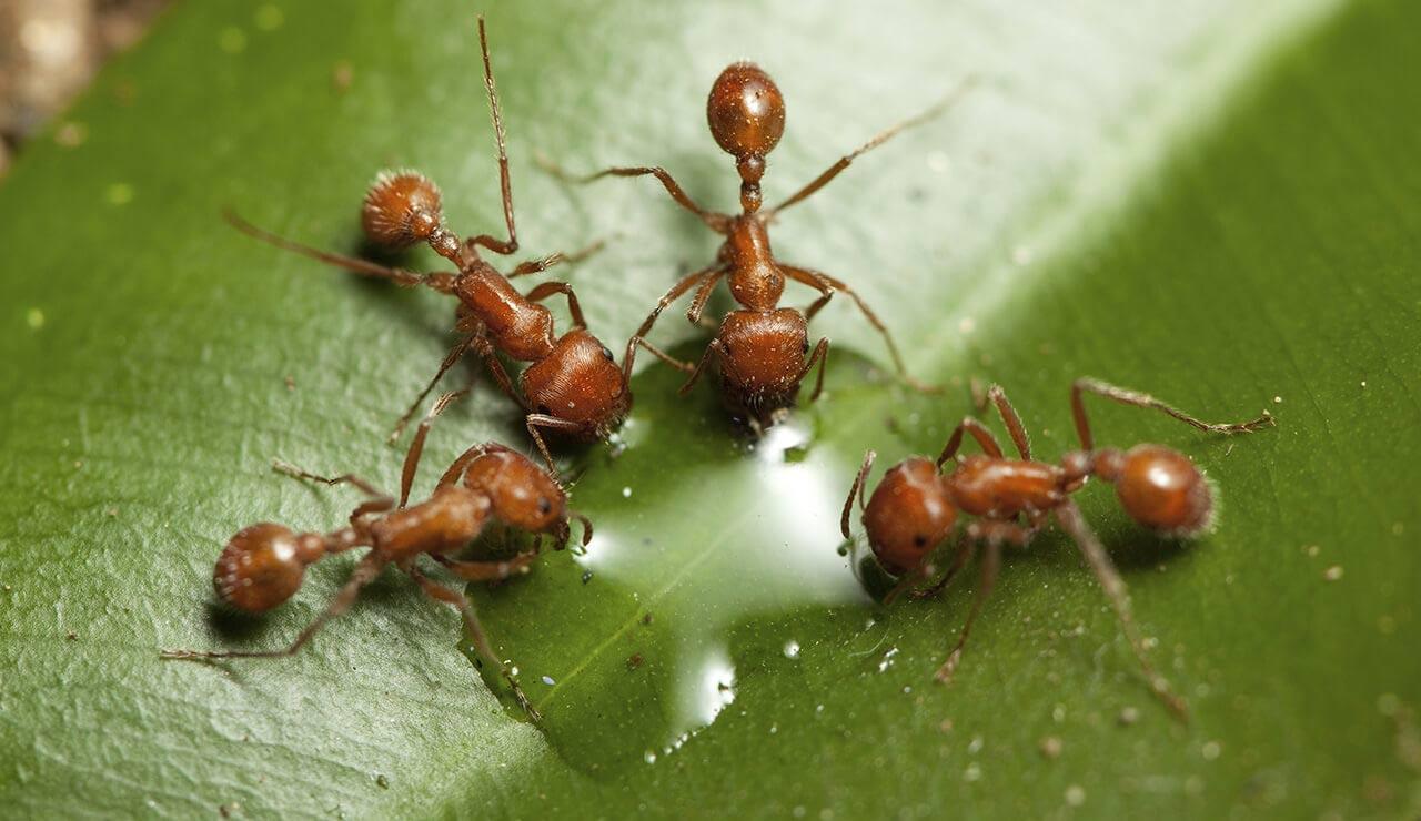 Ants In Vegetable Gardens - Image Amdro