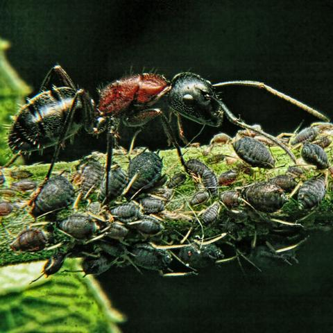 Ants On Your Bonsai - Image By bonsaitree