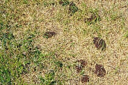 Ants in Lawn - Image By entomology
