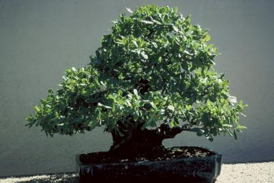 Aphids On Your Bonsai Tree - Image By sfgate