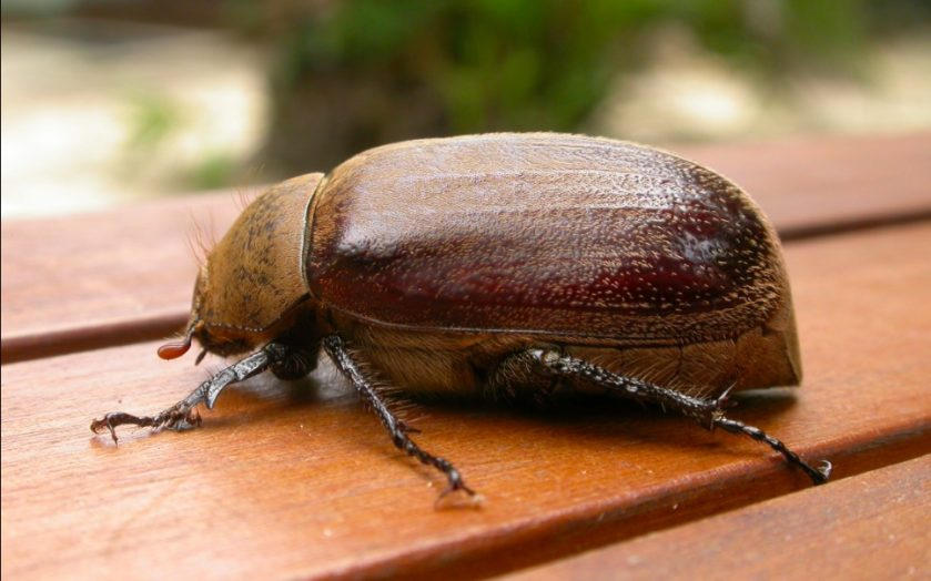 Are June Bugs Dangerous - Image By gillnursery