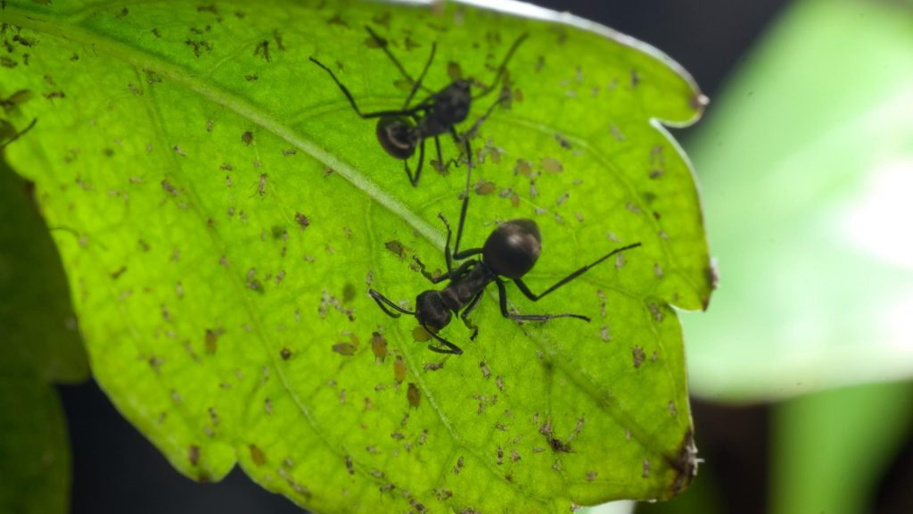 Are ants bad or good for potted plants?