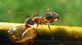How Long do Black Garden Ants Live?