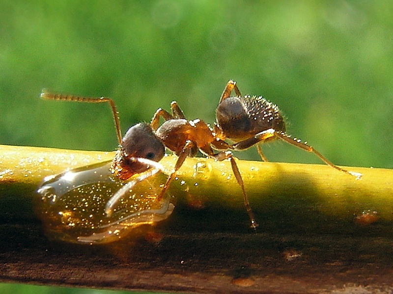 Black Garden Ants 2021 - Image By learnaboutnature