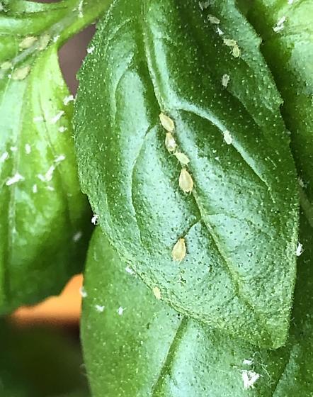 Bugs in Basil - Image By Reddit