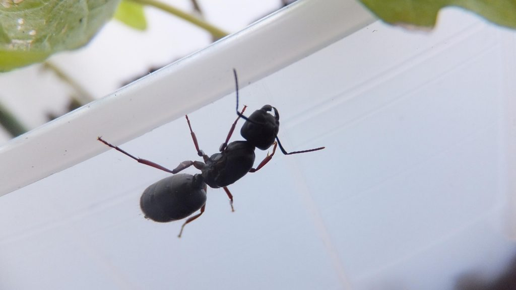 Carpenter Ants in the Winter - Image By pestsamurai