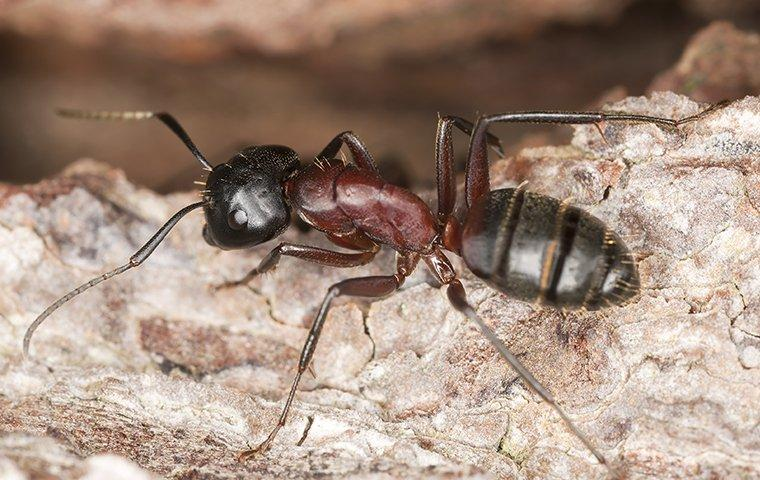 Carpenter Ants in trees - Image By kangapestcontrol