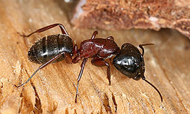 Carpenter Ants in your ceiling - Image By thespruce