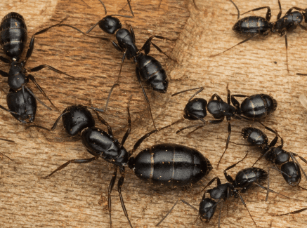 Carpenter Ants - Image By greengianthc