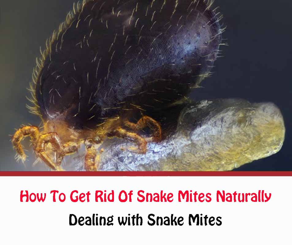 Dealing with Snake Mites