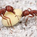 Difference Between Harvester Ants And Fire Ants
