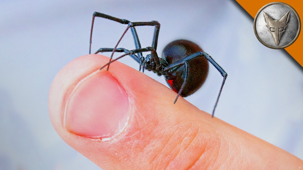 Do Black Widows Bite