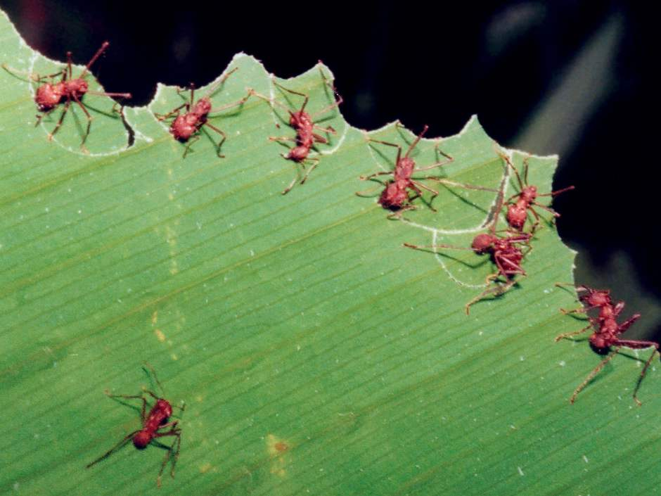 Do Leafcutter Ants Bite - Image By richard-seaman