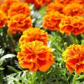 Do Marigolds Kill the Mosquitoes? - Image By gilmour