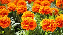 Do Marigolds Repel Mosquitoes?