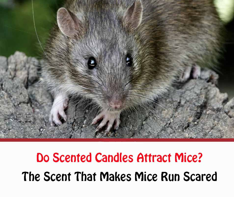 Do Scented Candles Attract Mice?