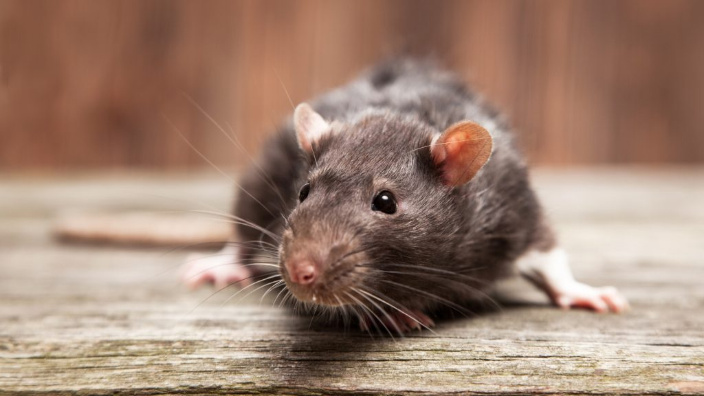 Do Scented Candles Attract Mice 2021 - Image By pestsamurai