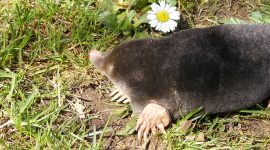 Do Mole Granules Actually Work?