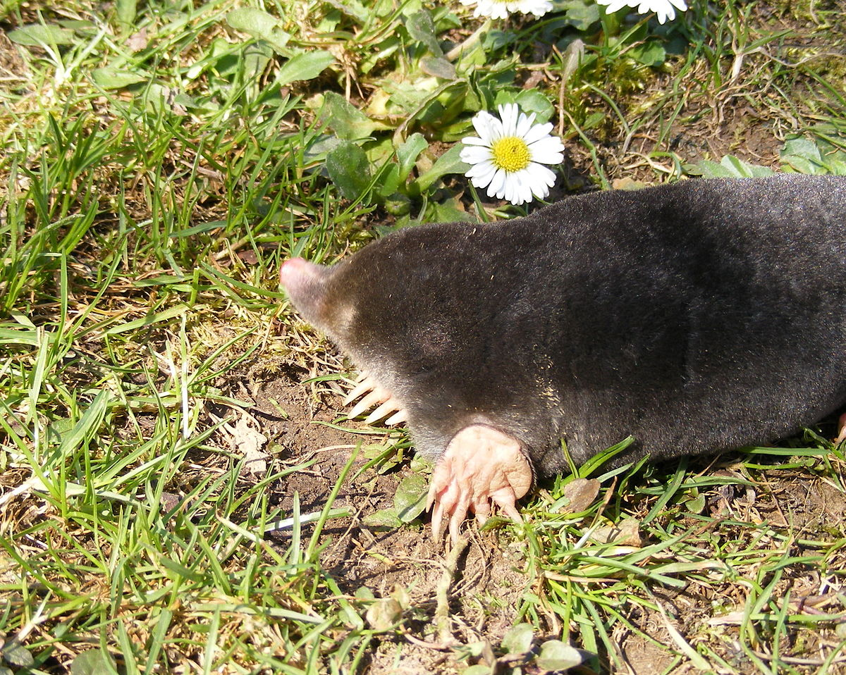 Do mole granules actually work 2021 - Image By Wikipedia
