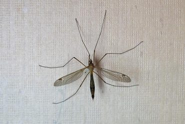 Do Mosquito Hawks Bite Humans?