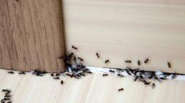 Does Vinegar Kill Ants?