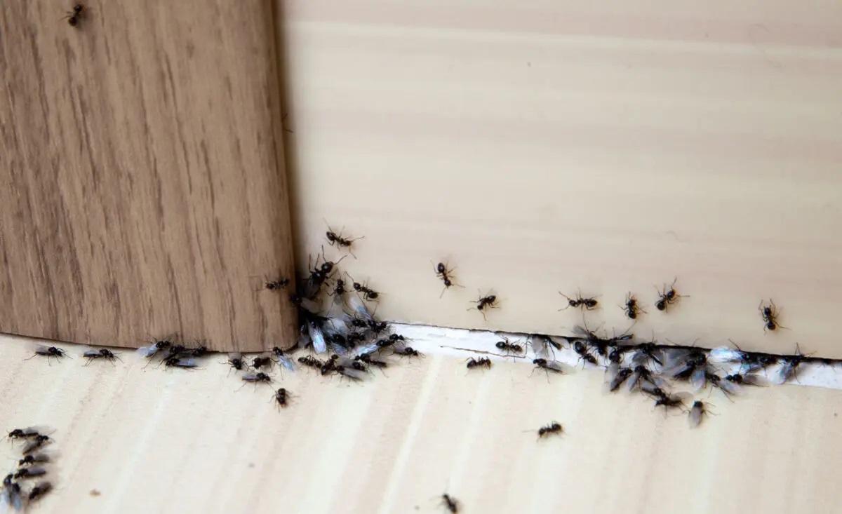 Does vinegar kill ants 2021