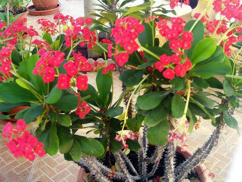 Euphorbia - Image By indiamart