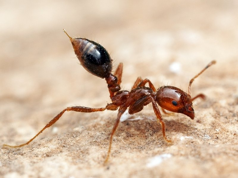 Fire ants - Image By invicta1s