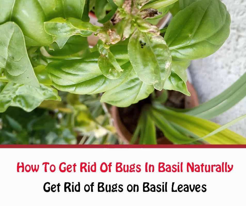 Get Rid of Bugs on Basil Leaves