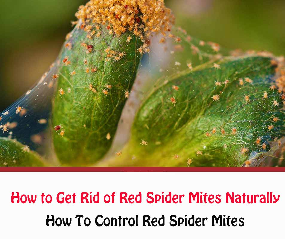Getting Rid of Red Spider Mites Naturally
