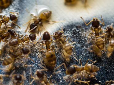 Grease Ants: How To Get Rid Of Grease Ants Naturally