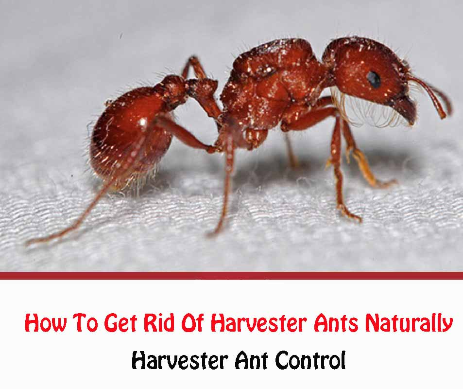 Harvester Ant Control